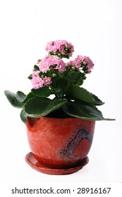 Pink flowers plant in a pot on white background