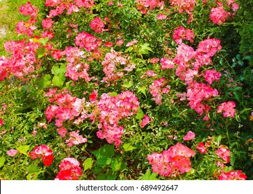 Pink Flowers and Plants