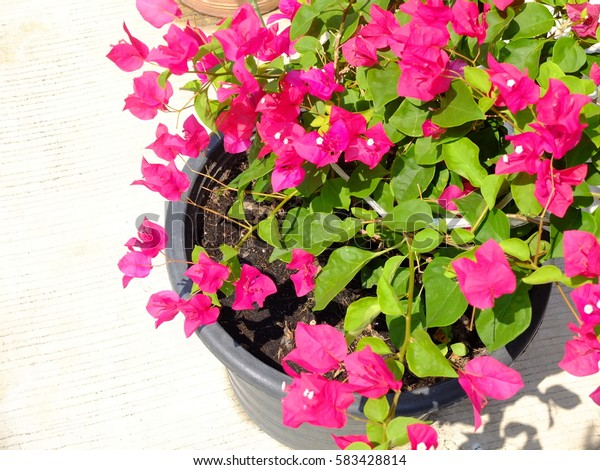 Pink Flowers in the pot
