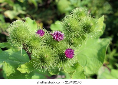 Pink flowers of prickles of a burdock. Medicinal plant. Herbal. Weed growing everywhere. Blossoming burdocks