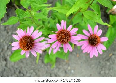 pink flowers of the purple sunhat (echinacea purpurea, asteraceae)