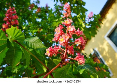 Pink flowers red horse chestnut tree stock photo edit now pink flowers of the red horse chestnut tree aesculus mightylinksfo
