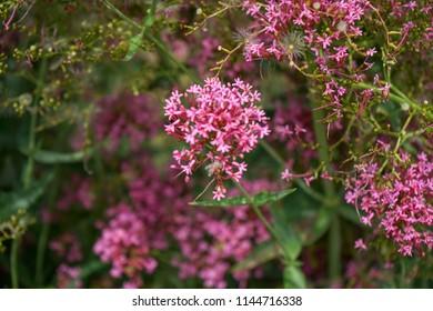 Pink flowers of Red Valerian, Jupiters Beard, Centranthus ruber var. coccineus