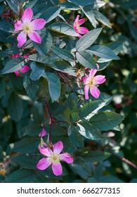 Pink flowers of Red-Leafed Rose / Blaue Hechtrose (Rosa glauca)