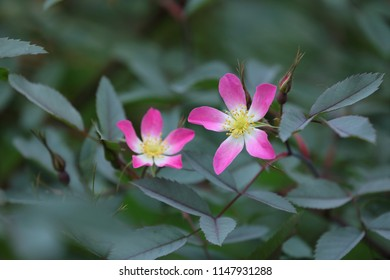 Pink flowers of Red-Leafed Rose (Rosa glauca)