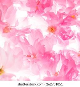 Pink flowers of sakura like a background
