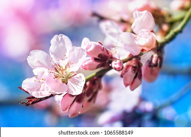 Pink  flowers in small clusters on a crab apple tree branch
