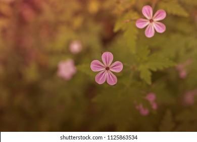 Pink flowers in Sochi