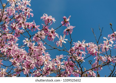 Pink flowers of the Star Magnolia (magnolia stellata) with blue sky in background.