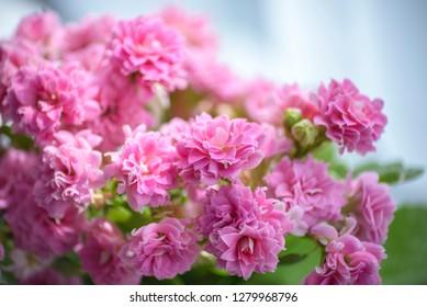 Pink flowers, succulent