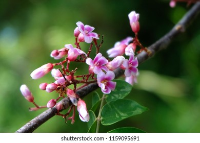 pink flowers of Ta ling Ping