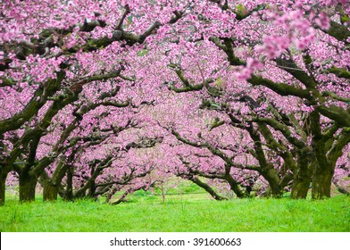 Pink flowers trees tunnel