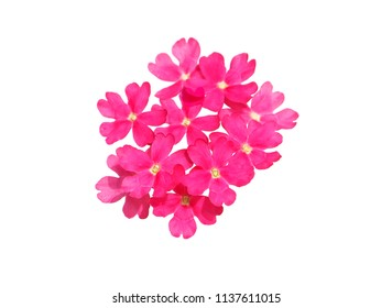 Pink flowers of verbena isolated on white