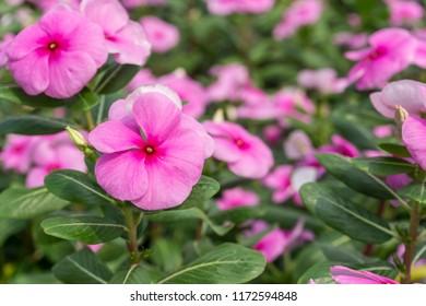 pink flowers wallpaper.
