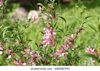Pink flowers of wild dwarf Russian almond (Prunus tenella)