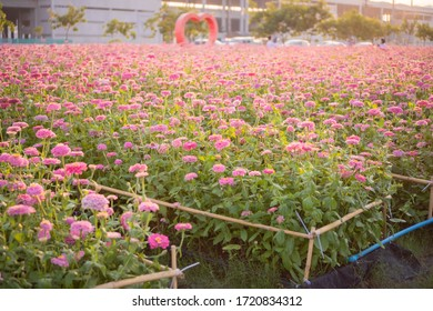 Pink flowers zinnia flower in garden outdoors with blooming on beautiful background