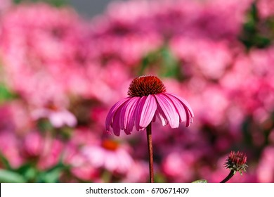 Pink flowers,Echinacea,Echinacea in the garden on the DOI angkhang ,Thailand .