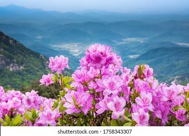 Pink flowers(royal azalea) at Hwangmaesan, South Korea