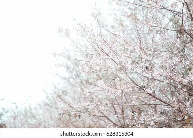 Pink flowers,Winter flowers,Sakura in Japan.
