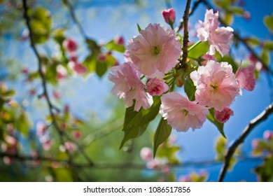Pink Fluffy Flowers Blooming on a Tree