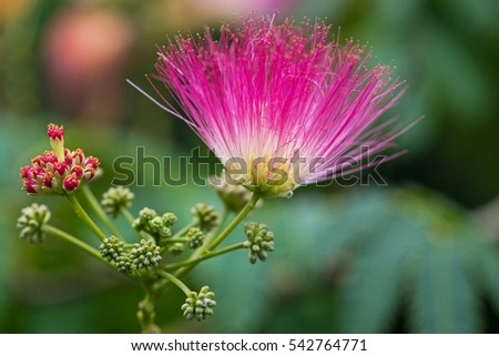Pink Fluffy Flowers On Blooming Albizia Stock Photo Edit Now