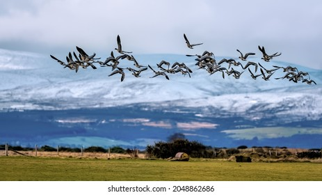 Pink Footed geese flying in a flock over farmland with snow on winter hills in the Highlands of Scotland