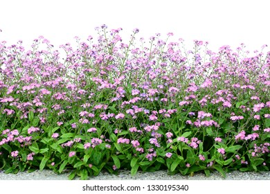 Pink forget-me-not flower border isolated on white,  grown in flowerbeds or groundcover (Myositis)