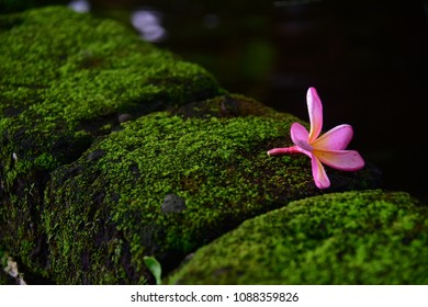 Pink Frangipani flower on a moss bed, Bali Indonesia