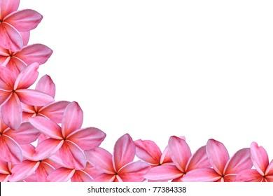 pink frangipani flowers