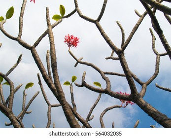 Pink frangipani flowers on top of the branch