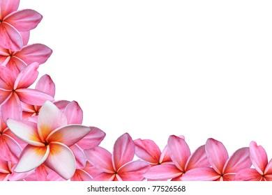 pink frangipani flowers on white background