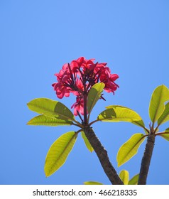 Pink frangipani flowers over blue sky
