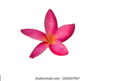 pink Frangipani , Pagoda tree, Temple tree on white background