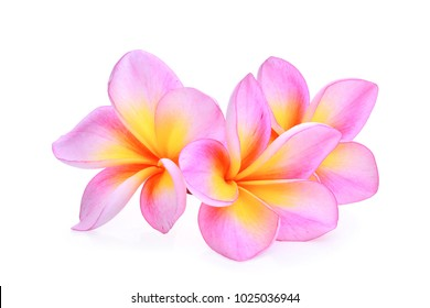pink frangipani (plumeria) flower isolated on white background