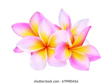pink frangipani or plumeria (tropical flowers) isolated on white background