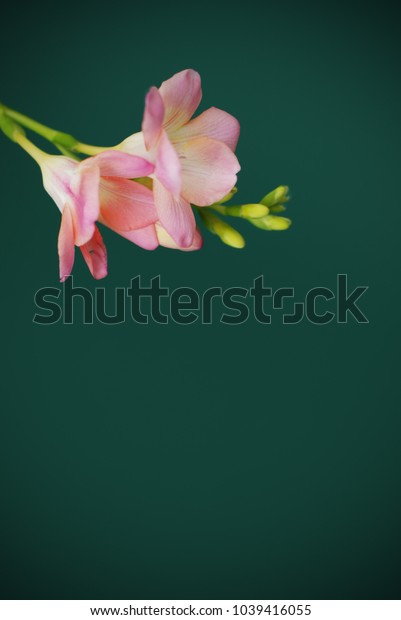 Pink freesia Bunch of Flowers, Isolated on Green Background. Spring Time. Copy space for Text.
