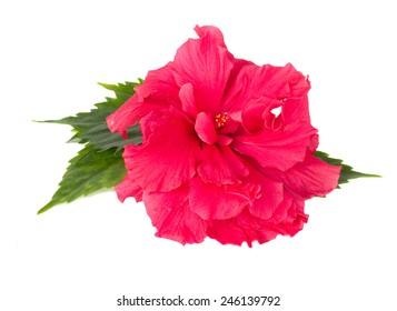 pink fresh  hibiscus flower with green leaves isolated on white background