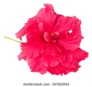 pink fresh  hibiscus flower  isolated on white background