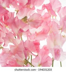 pink fresh sweet pea flower background