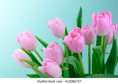 Pink fresh tulips flowers