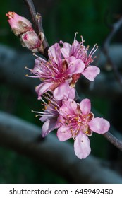 Pink fruit blossoms open in springtime to be polinated