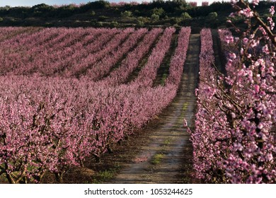 pink fruittree field