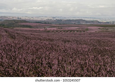 pink fruittree fields