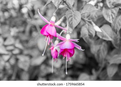 Pink Fuchsias Flowers on a Black and white background.