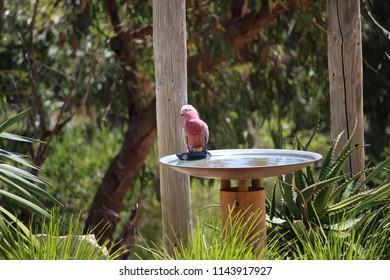 Pink galah drinking at birdbath