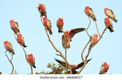 Pink galahs sitting in a tree in the Australian Outback