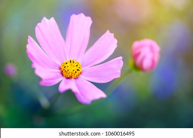 Pink garden cosmos or Mexican aster flower close-up