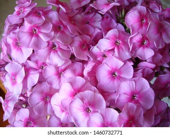 Pink garden flowers. Pink phlox.