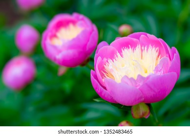 Pink garden peony with a yellow/cream center.  Photographed with a specialty lens for creamy bokeh and shallow depth of field.