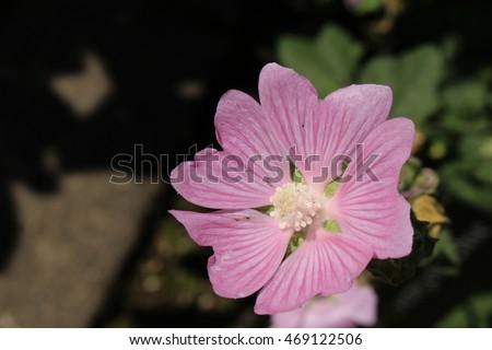Pink garden tree mallow flower or stock photo edit now 469122506 pink garden tree mallow flower or tree lavatera in st gallen mightylinksfo